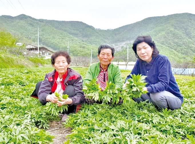 두릅과 취나물의 중간 맛 '삼잎국화' 수확한창