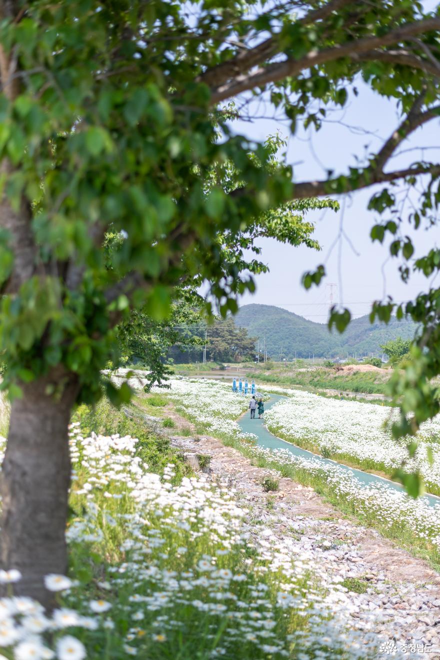 5월 서산 걷기 좋은 길 샤스타데이지 만개한 서산 용장천