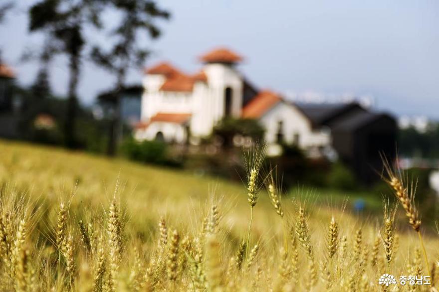 천안의 떠오르는 핫스폿! 구성동 밀밭의 이국적 풍경
