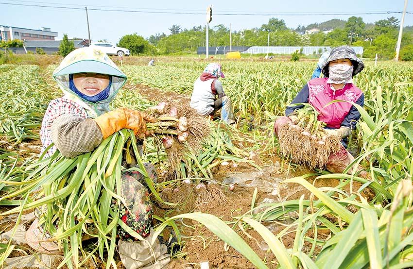 태안 마늘 수확 한창