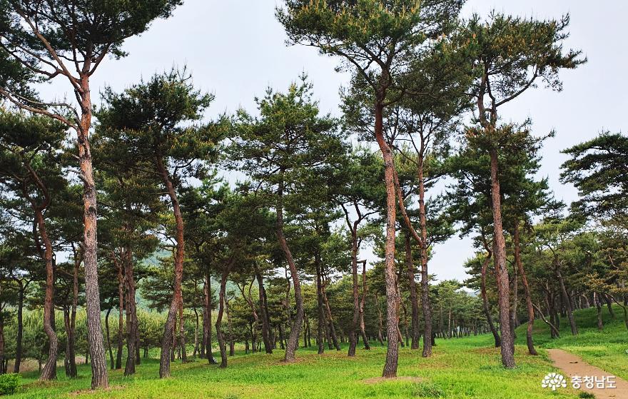 소나무 숲을 만나는 길 '공주 고마나루'