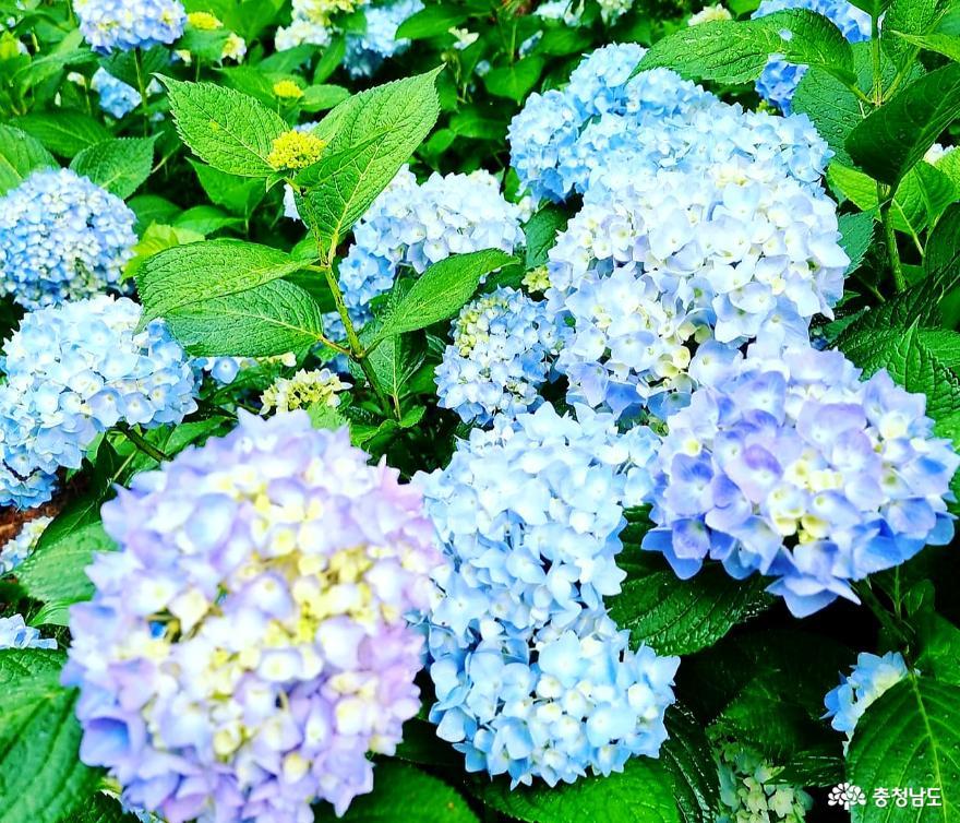 여름 꽃 향연 시작된'청산수목원'