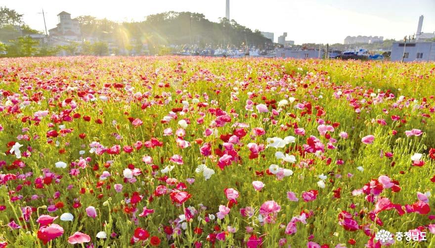 여름을 알리는 마량리 꽃양귀비