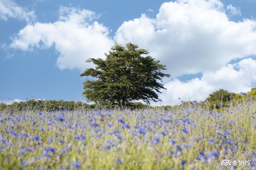 수레국화 아름다운 아그로랜드 태신목장