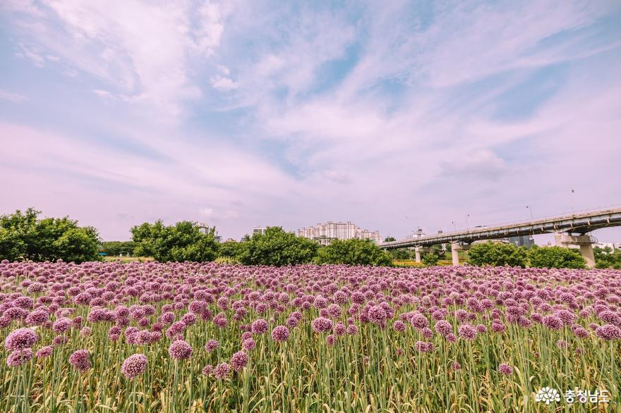 코끼리마늘꽃, 메밀꽃 가득한 공주 미르섬