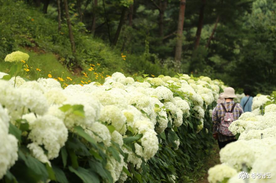 당진 삼선산수목원의 여름풍경 하얀수국과 여름꽃이 활짝