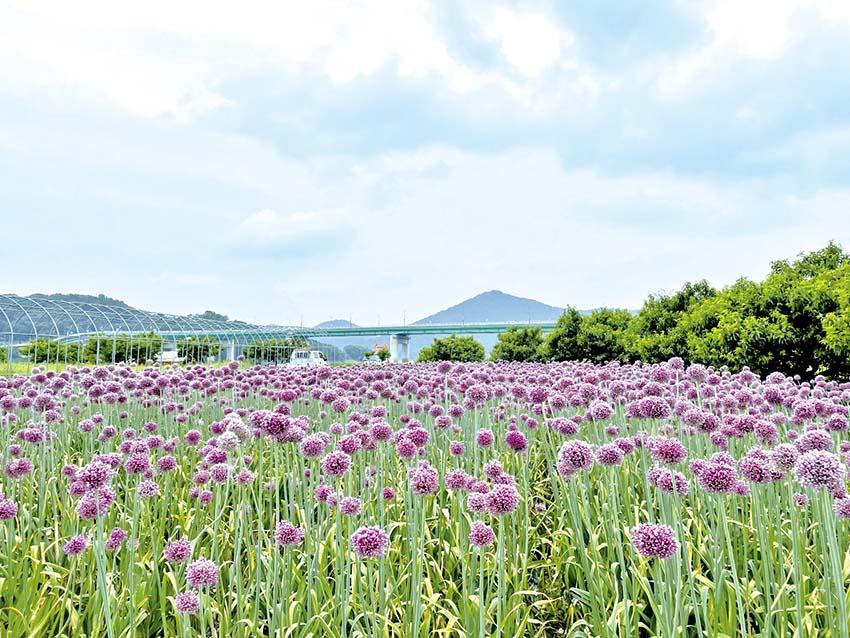 금강 미르섬 '코끼리마늘 꽃'