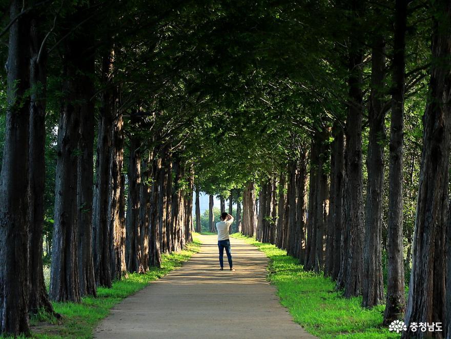연꽃 만개한 공주 정안천생태공원