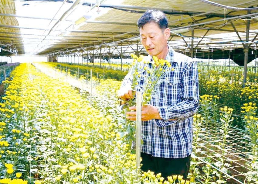 태안 국화, 일본에 4만 8000본 수출길