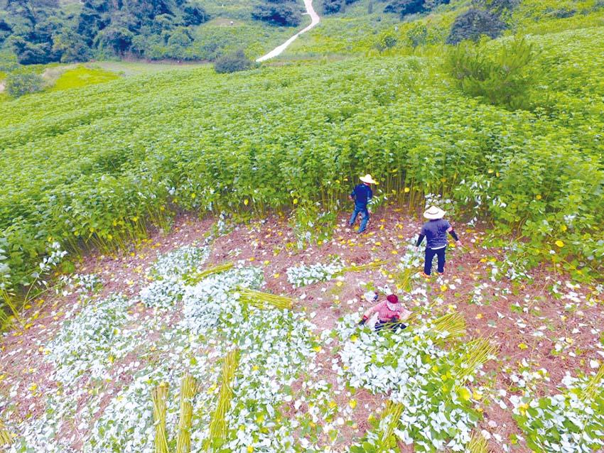 한산모시, 국가농업유산지정 추진된다