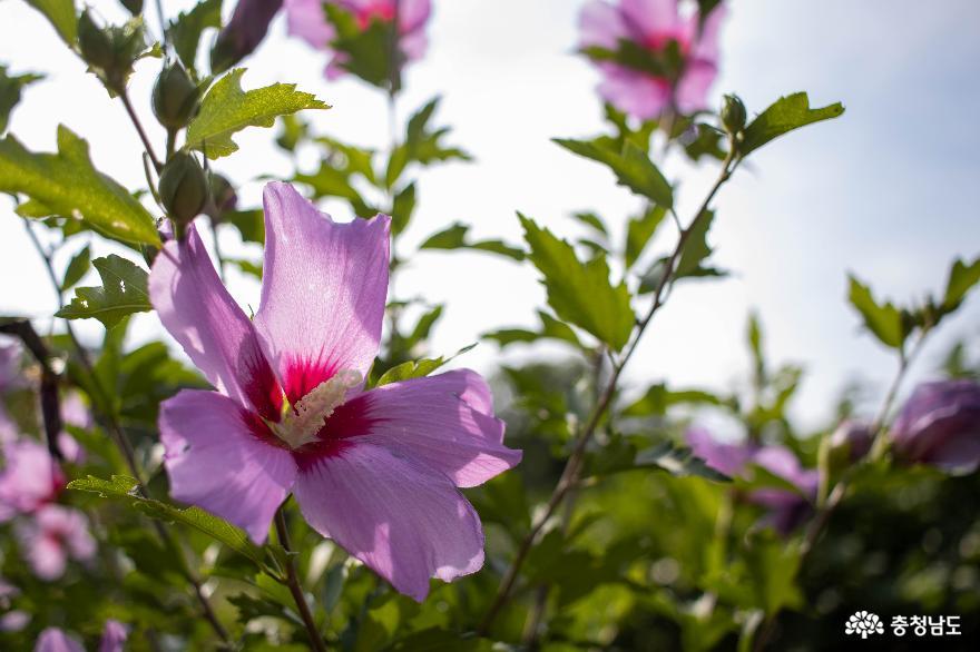 백일을 피고 지는 무궁화 꽃길 따라 성주산 숲 하늘길까지 걸어보자!