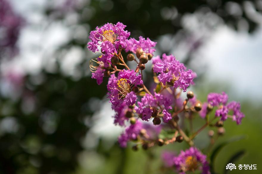 신원사에서 배롱나무꽃을 만나다