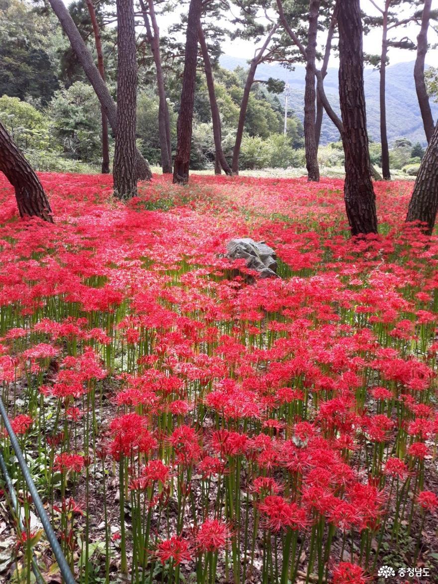 보령 성주산자연휴양림, 그리운 꽃무릇