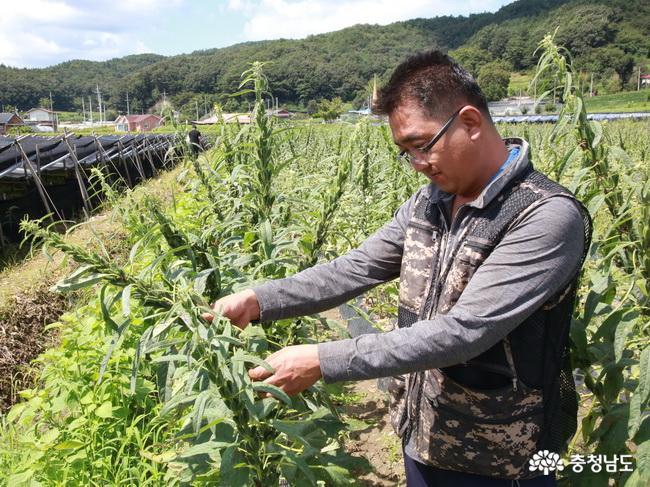 '청양참깨작목반' 참깨 심기부터 수확까지 전 과정 기계화
