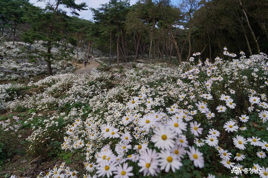 '어머니의 사랑'을 떠올린 구절산 구룡사의 구절초꽃