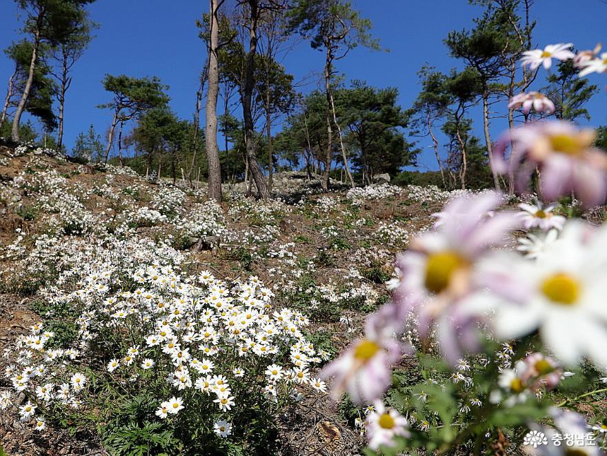 꽃은 시들어도 향기는 머무는 구절산 구절초