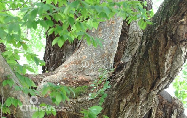 [예산-대흥향교 은행나무] 나무, 나무를 품다
