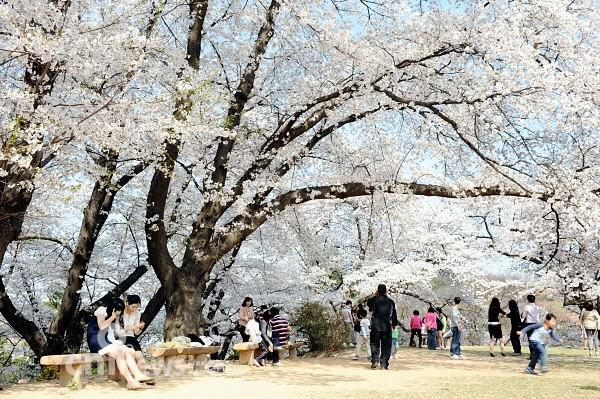 [공주-봄꽃]꽃속에 파묻힌 사람들의 모습이 천국같다
